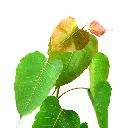 peepal tree: green leaf vein  bodhi leaf  on white background