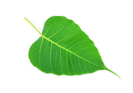 green leaf vein  bodhi leaf  on white background
