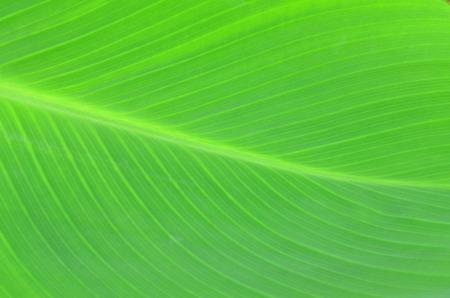 light green background: Texture background of backlight fresh green Leaf.