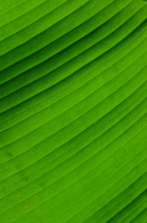 veining: banana Leaves