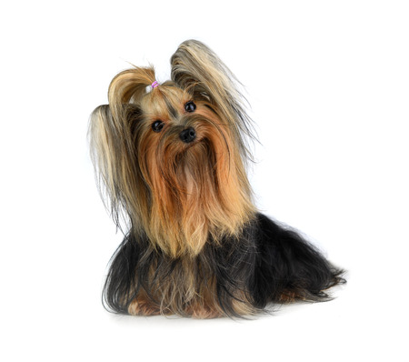 yorky: yorkshire terrier isolated on white Stock Photo