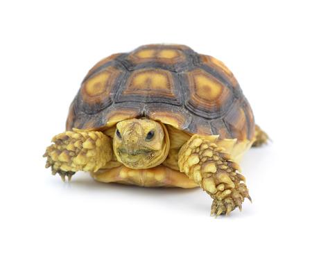 lasting: Turtle isolated on white