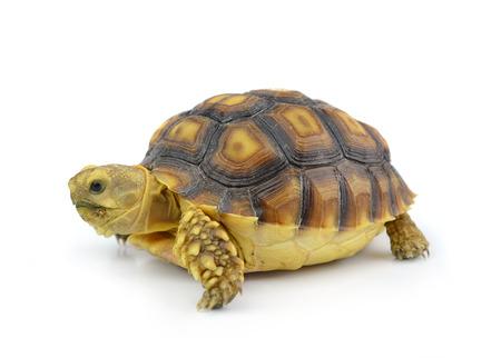 land turtle: Turtle isolated on white