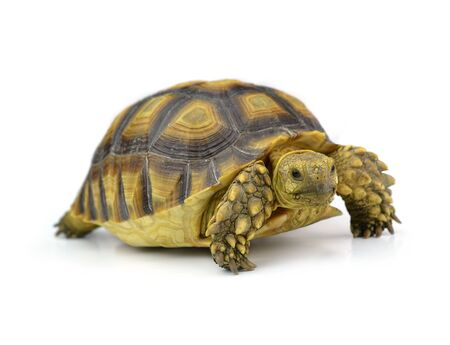 lasting: Turtle isolated on white Stock Photo