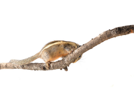 ardilla listada: Chipmunk aislado en fondo blanco