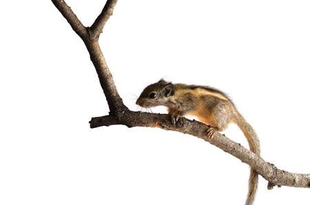 ardilla: Chipmunk aislado en fondo blanco