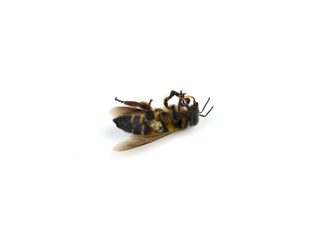 Dead bees isolated on white background
