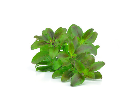 tulasi: Holy basil or tulsi leaves isolated over white background