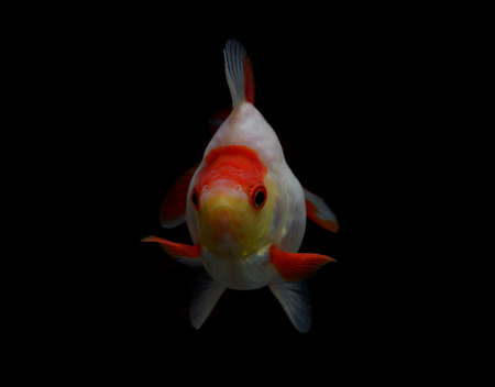 jelly head: Goldfish isolated on black