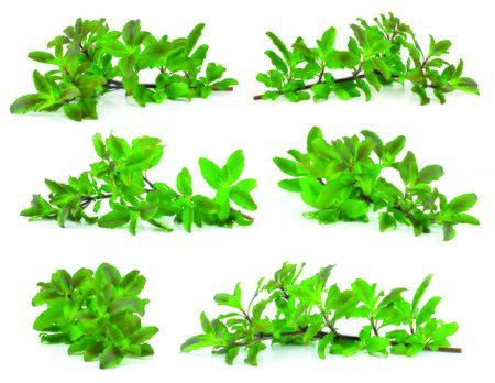 tulasi: Holy basil or tulsi leaves isolated over white background