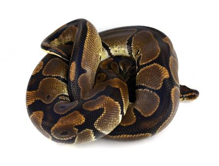 royal python: Royal Python or Ball Python in studio against a white background. Stock Photo