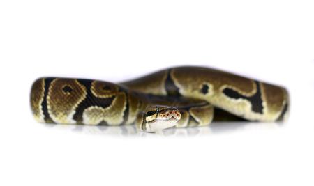 royal python: Royal Python, or Ball Python in studio against a white background.