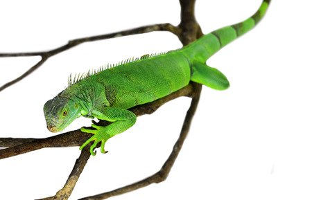 species of creeper: Green Iguana isolated on white