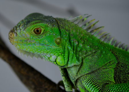 species of creeper: Iguana close up