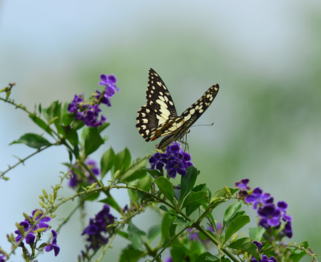 silverline: butterfly close up
