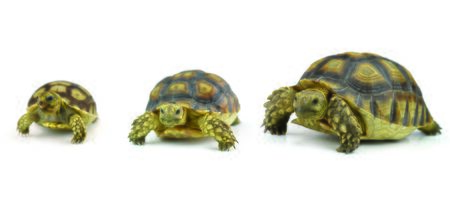 long lasting: turtle isolated on white background