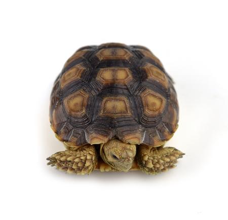 long lasting: turtle isolated on white background