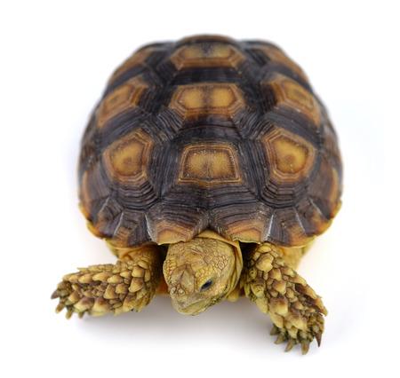 lasting: turtle isolated on white background