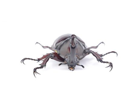 escarabajo: escarabajo  Foto de archivo