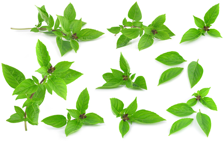field of thai: Sweet Basil isolated on white background. Stock Photo
