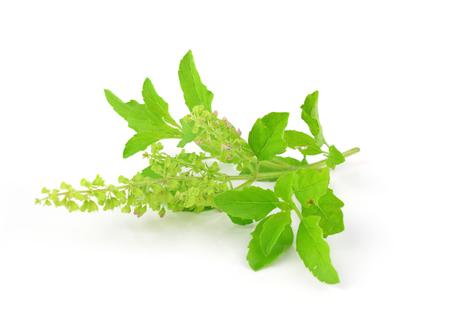 홀리 바질 또는 TULSI 흰색 배경 위에 고립 된 나뭇잎