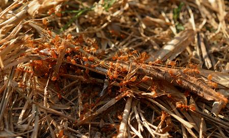 hormiga: hormiga roja