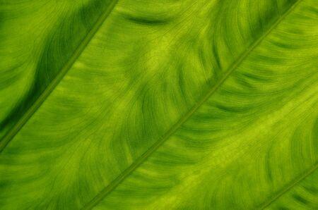 asymmetry: Leaf background Stock Photo