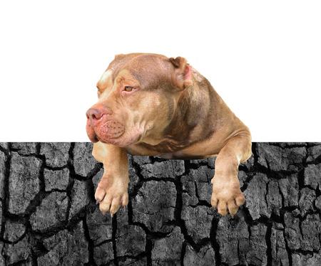 black and white pit bull: Pit Bull Dog Stock Photo