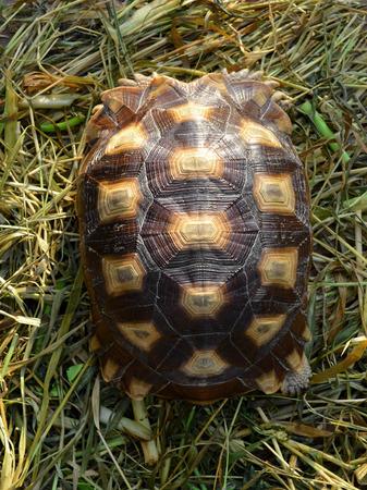 herpetology: turtle