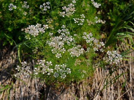 cilantro: flores de cilantro en el jard�n