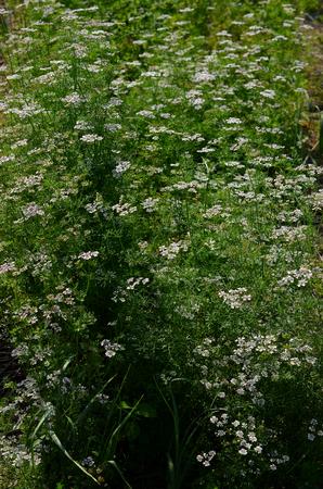 culantro: flores de cilantro en el jard�n