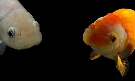 jelly head: fancy goldfish isolated on black background