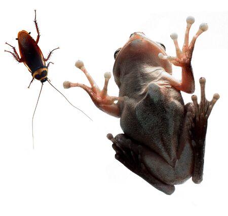 eye red: frog, tree frog the amphibian