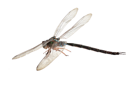 snaketail: Dragonfly on a white background.