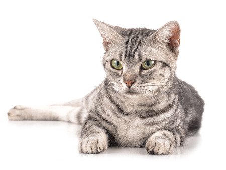 pet cat: cat on white background.
