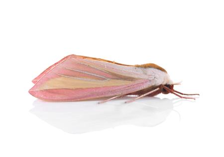 thorax: Moth