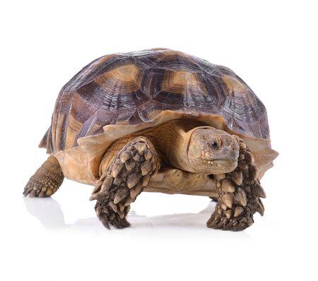 land turtle: turtle isolated on white background