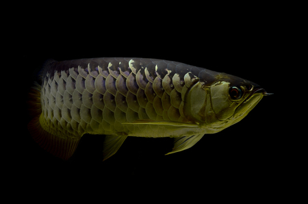 arowana: Asian Arowana fish on black background Stock Photo