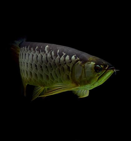 asian arowana: Asian Arowana fish on black background Stock Photo