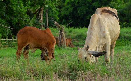 momma: Momma Cow and Calf