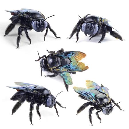 hairy legs: bumble bee