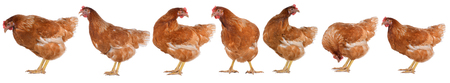 egglayer: Hen eggs isolated on white background.