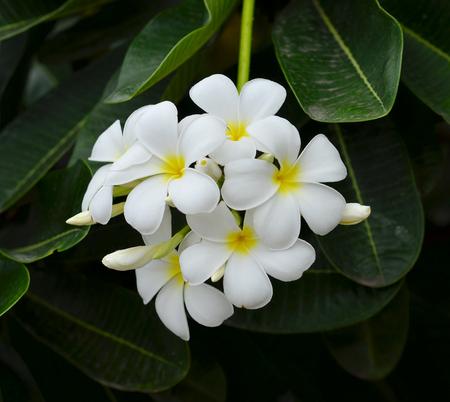 subtropical plants: White plumeria on the plumeria tree,