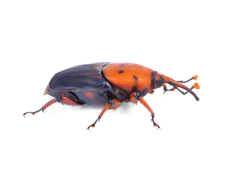 The red palm weevil, Rhynchophorus ferrugineus, is a species of snout beetle also known as the Asian palm weevil or sago palm weevil Stock Photo