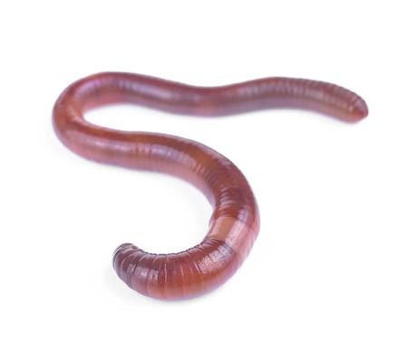 Earth worm op een witte achtergrond