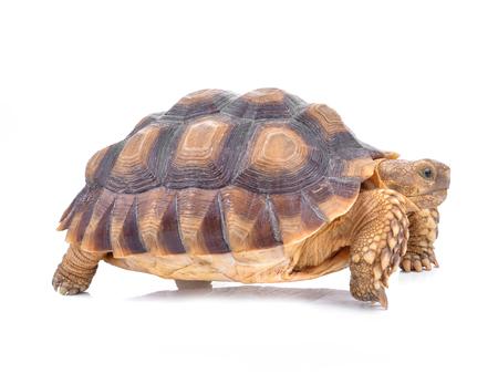 Schildpadden op wit worden geïsoleerd dat