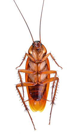 cockroach on white background