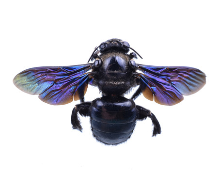 bumble bee isolated on white background