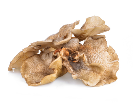 Mushrooms (Lentinus polychrous Lev.) isolated on white background.