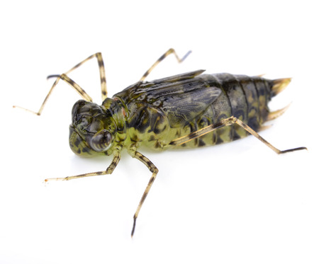 Dragonfly Larva Isolated on White Background